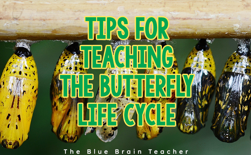 teaching the butterfly life cycle
